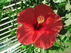 HIBISCUS (Janete Maurer) Tags: verde folhas sc branco picnic sombra grade vermelho amarelo hibiscus beleza cor maurer pistilo brrasil janete joinvile