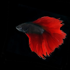 ~ Scarlet Red Betta ~
