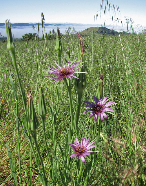 salsify and foggy hills