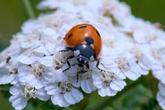 Seven-spotted ladybug (Coccinella septempunctata) (Captain Blackadder) Tags: flowers flower nature rural bug geotagged austria spring nikon blossom blossoms bugs ladybug graz steiermark styria afsvrmicronikkor105mmf28gifed d700 mantscha buchkogel