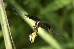 Dragonfly (Sue Sweet) Tags: pink trees white nature colors yellow bees missouri wildflowers shaws butterflys naturelovers greenorange graysummitmissouri nikond40 shawsnaturereserve altruisticphotos susansweet franklincountymissouricameraclub twosisterphotography