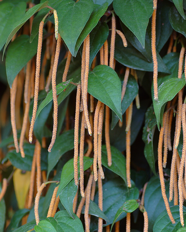 縄のれん風植物