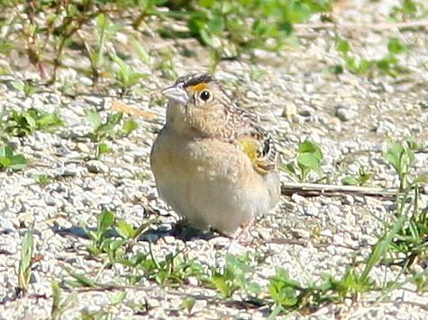 Grasshopper Sparrow 2-20090622