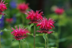 monarda (Matevz Umbreht) Tags: red summer plant blur flower green nature floral beauty grass yellow garden bokeh vrt background monarda ozadje rumeno rastline rdee