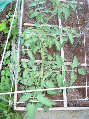 Caged Volunteer Tomatoes