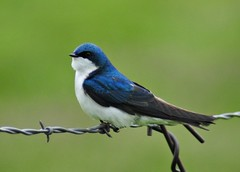 Tree Swallow (Ruthie Kansas) Tags: blue friends bird colorado barbedwire swallow naturelovers potofgold treeswallow vosplusbellesphotos