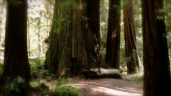 Giant Redwood Forest at Heritage Grove Redwood Preserve in La Honda, California (SCVHA) Tags: california commemorative lahonda heritagegrove redwoodpreserve