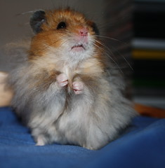 054 (Craigfaelossie) Tags: bear portrait pet cute animal standing pose mammal rodent bed bedroom furry long teddy small domestic hamster haired hammy macgregor syrian macg