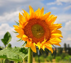 "Sun Flower - EXPLORED ("""" Arun) Tags: trip travel summer vacation usa flower nature water nationalpark nikon best sunflower discovery arun potofgold awesomeshot d90 artofnature nikond90 brillianteyejewel awesomescenery brilliantphotography fabulousflicks elitephotgraphy artofimages saariysqualitypictures flickrmasterpieces capturethefinest veryimportantphotos"