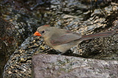 Female Northern Cardinal (Foto Martien (thanks for over 2.000.000 views)) Tags: red holland netherlands dutch female mexico zoo texas desert guatemala arnhem maine nederland burgers northamerica rood veluwe burgerszoo cardeal ecosystem niederlande cardinaliscardinalis gelderland redbird dierenpark vrouwtje woestijn northerncardinal kardinaal cardinalidae easternunitedstates sigma70300apomacro a350 burgersdierenpark easternusa southerncanada cardinalrouge burgersdesert cardenalrojo sonyalpha350 cardenalnorteo rotkardinal rodekardinaal martienuiterweerd deserthall woestijnhal ecodisplays belizesonora martienarnhem rotekardinal virginischenachtegaal noordelijkekardinaal