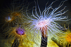 tube anemones (petervanallen) Tags: world california trip sea usa water aquarium bay monterey nikon tube anemones canneryrow d90 petervanallen tubeanemones wwwpetervanallencom