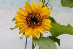l'orto in terrazzo (clapat) Tags: flower verde green vegetables yellow garden casa amarillo giallo sunflower tuin fiore geel settembre 2009 terras girasole girasol terrazzo bloem zonnebloem orto