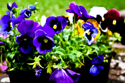 pansies for sale!