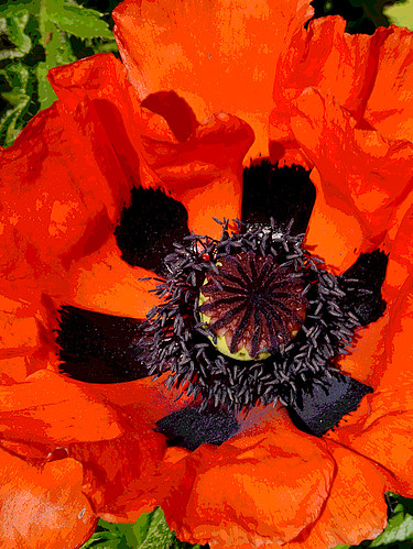 Orange Oriental Poppy - East Greenwich, Rhode Island