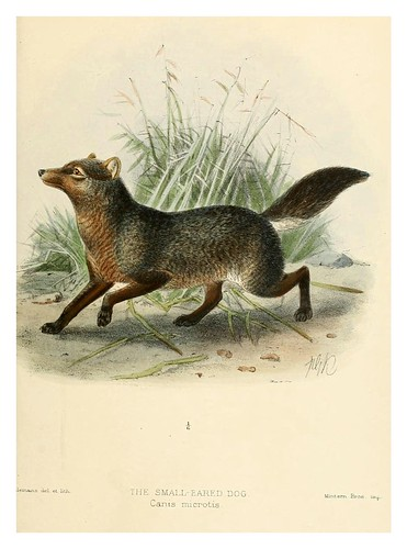 013-Perro de orejas pequeñas-Dogs jackals wolves and foxes…1890- J.G. Kulemans