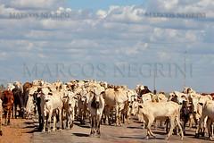 BOIADA (Marcos_Negrini) Tags: ave marcos cavalo tropa pantanal arara boi boiada gado peo negrini
