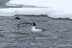 Pair of Goldeneyes (NatureFreak07) Tags: winter nature birds animals river ottawa ducks waterfowl goldeneyes bucephalaclangula nikond60 naturefreak07