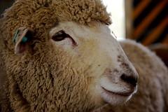 Sheep (pelican) Tags: nose sheep osaka sigma1770mmf2845 k200d publicfarm おおさか府民牧場