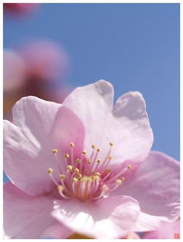 Cherry blossoms 090305 #05
