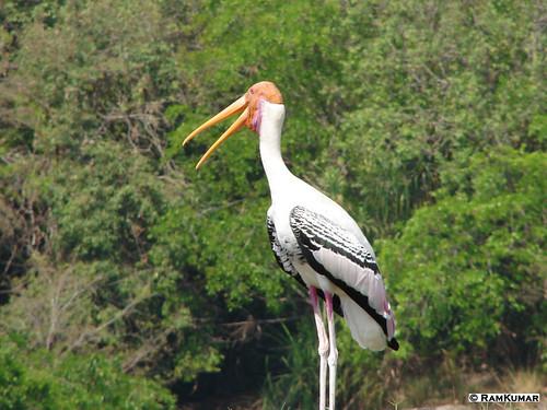 Painted Stork - Ranganathittu