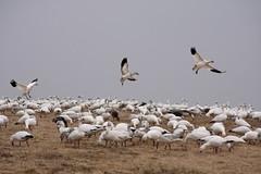 218_10 (lisa_praul) Tags: flock landing middlecreek snowgeese