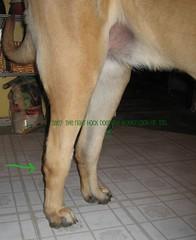 veterinary diagnostics: knowledge's hocks (Grackle&Sun) Tags: englishmastiff wonkyhocks
