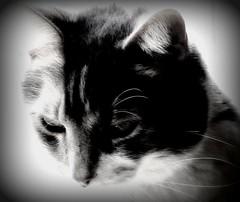 =) black & white (mightyquinninwky) Tags: blackandwhite bw monochrome cat fur blackwhite fuzzy award whiskers invite picnik postprocessing graycie blackwhitephotos mywinners mywinner bestofformyspacestation