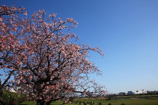 早咲き桜の噂