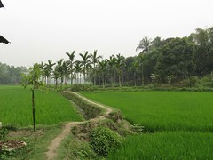Turag River area - Rice paddies