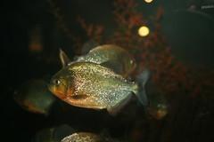piranha redbellied redbelliedpiranha pygocentrus nattereri pygocentrusnattereri