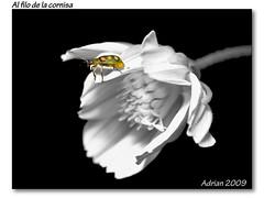 Al filo de la cornisa ( Cutout) (Adrian D. Zussino) Tags: flower macro bug 50mm flor olympus om f18 insecto e500 uro ftna
