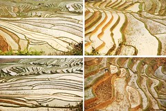 terraces (MelindaChan ^..^) Tags: nature water field gold golden spring vietnamese pattern rice terrace vietnam mel melinda sapa  supershot 5photosaday chanmelmel melindachan