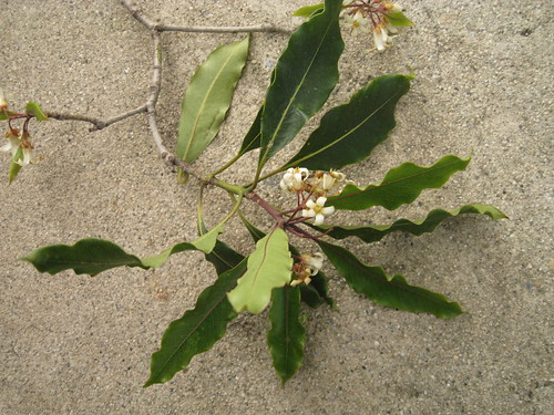 leaves and flowers of mystery tree