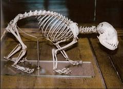 Squelette de Panda éclatant / Red Panda Skeleton (Ailurus fulgens) A3140 (JC-Osteo) Tags: museum skeleton panda os musée collection collections redpanda bones bone naturalhistorymuseum museumofnaturalhistory jdp ailurusfulgens jardindesplantes gallerie squelette muséedhistoirenaturelle mnhn Taxonomy:binomial=ailurusfulgens jctheil