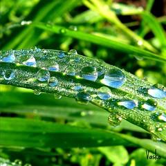 Drops (vaskos66) Tags: drops