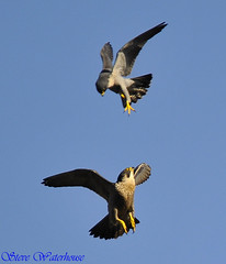 PEREGRINE FALCONS FIGHT (spw6156) Tags: copyright male female adult top steve young an falcon nationaltrust raptors waterhouse attacking peregrine bellow intruding plymbridge cannquarry spw6156 stevewaterhouse plymperegrineproject plymbridgeperegrinefalcons copyrightstevewaterhouse