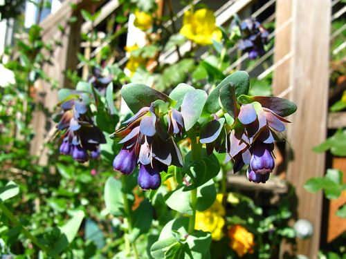 Cerinthe major 'purpurescens'