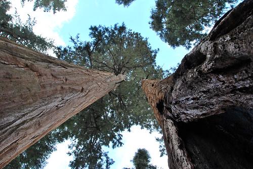 Sequoias...vus d'en bas !