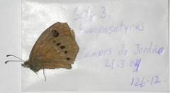Pampasatyrus gyrtone