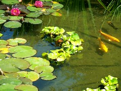 Koi Fish (TheBigWRanch12) Tags: summer nature water colors beautiful garden outside outdoors nice pond colorful pretty lilies greenery growing waterplant