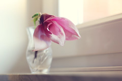 The innocent and the beautiful have no enemy but time~ (Tja'Sha) Tags: stilllife weekend simplicity magnolia inmylivingroom yaaay nikond40 fiddywhores sundaytime happysundayguys ithasbeautifullighttoo