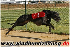 Greyhound Galliano