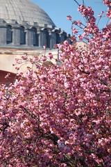 Blossoms, Sultanhamet