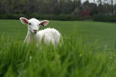Pasture lamb
