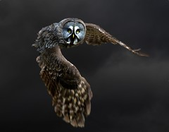 Great grey owl in flight from Hogwarts (strix nebulosa) (hawkgenes) Tags: nature animals wildlife owls birdsofprey colorphotoaward vosplusbellesphotos thewonderfulworldofbirds greatgreyowls