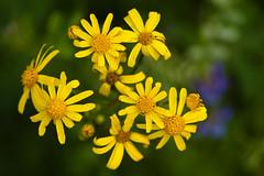 Cullinan Park - Golden Ragwort (?)