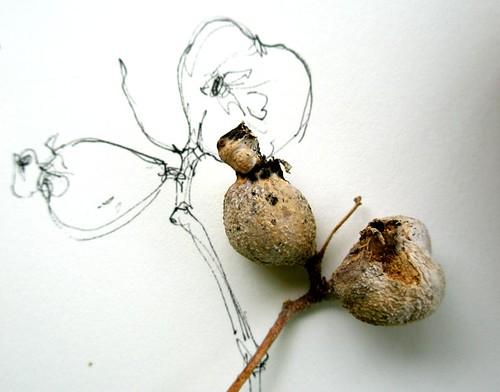 Nature drawings--galls, gesture sketch