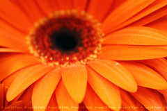 orange flower (Proud of faith [BHR]) Tags: show pink flowers blue orange plants white flower macro green nature yellow proud canon garden eos bahrain flickr dof gulf natural faith fresh international takenbyme arab stuff arabian 1855  2009 bahraini   flickraward   1000d