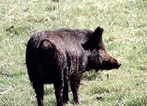 wild pig1