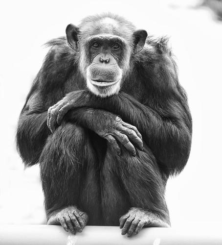 フリー画像| 動物写真| 哺乳類| 猿/サル| チンパンジー| モノクロ写真|      フリー素材|